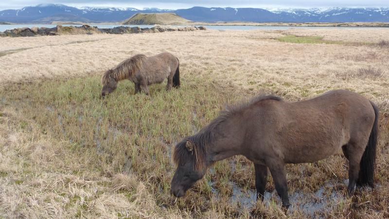 chevaux_islandais