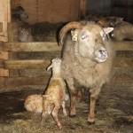Naissance d'un agneau