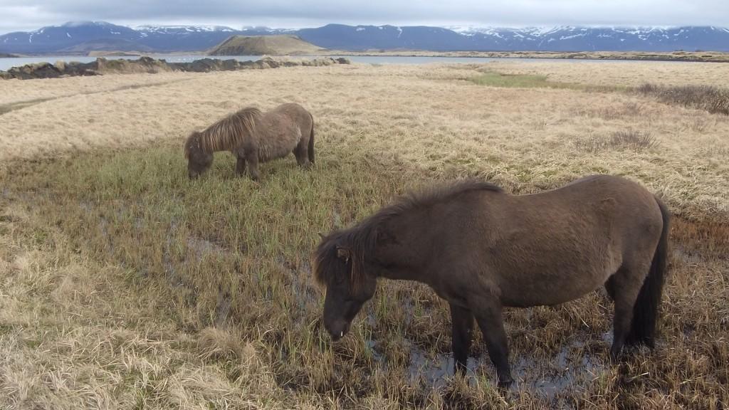 Chevaux islandais sur fond volcanique